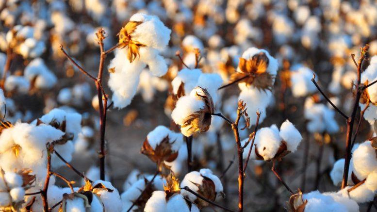 hur påverkar bomull miljön